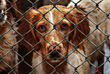 Brittany Spaniels in Rescue