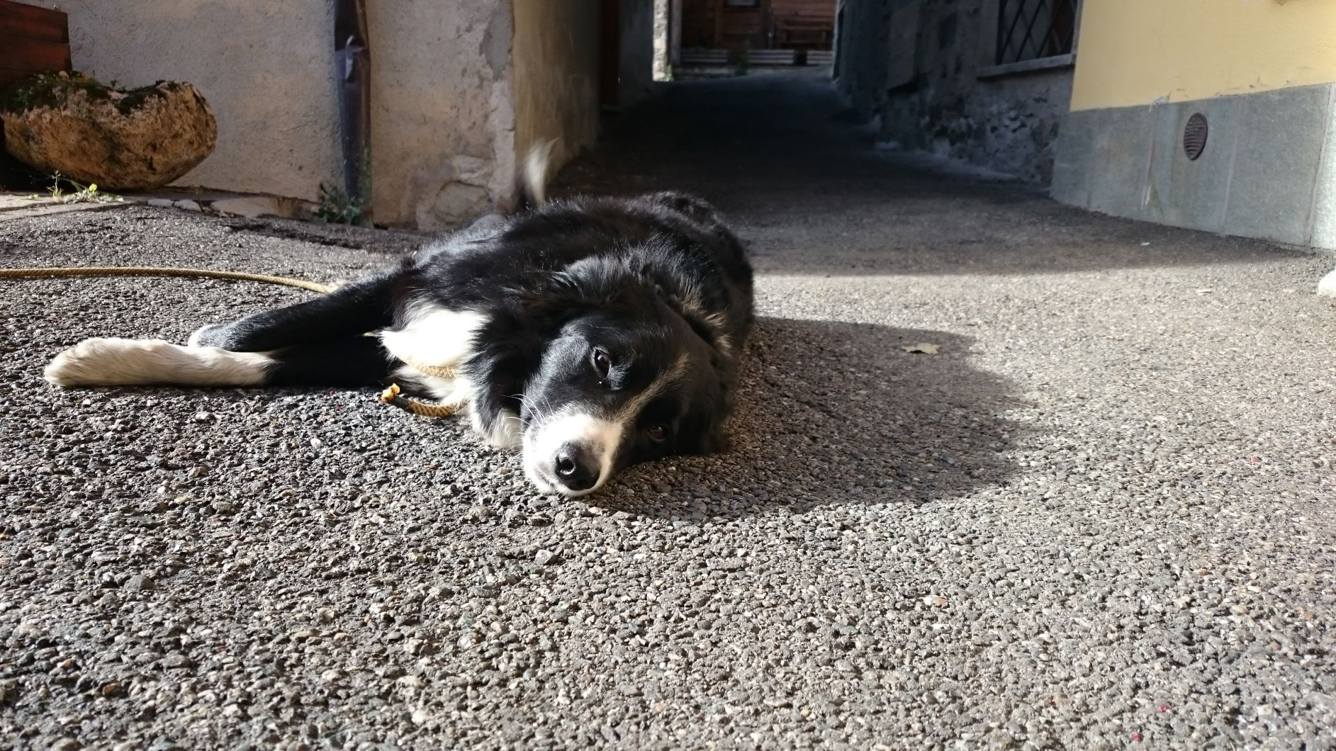 Our friendly neighbourhood Collie in Courmayeur