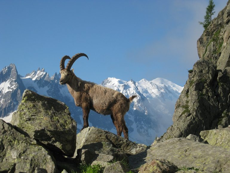 The Alpine Ibex in the Mont Blanc Massif