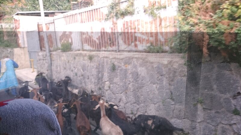 Goat traffic jam Amalfi Coast